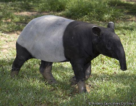 Malayan tapir Tapirus indicus Asian Tapir Asiatic Tapir Indian Tapir Malayan