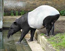 Malayan tapir httpsuploadwikimediaorgwikipediacommonsthu