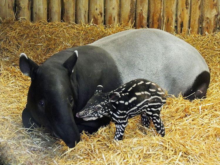 Malayan tapir Video Rare baby Malayan tapir born at Edinburgh Zoo The Independent