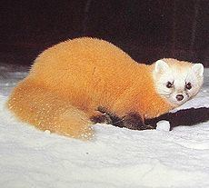 Malayan weasel 1000 images about Mamiferos Mammals on Pinterest Foxes Zoos and