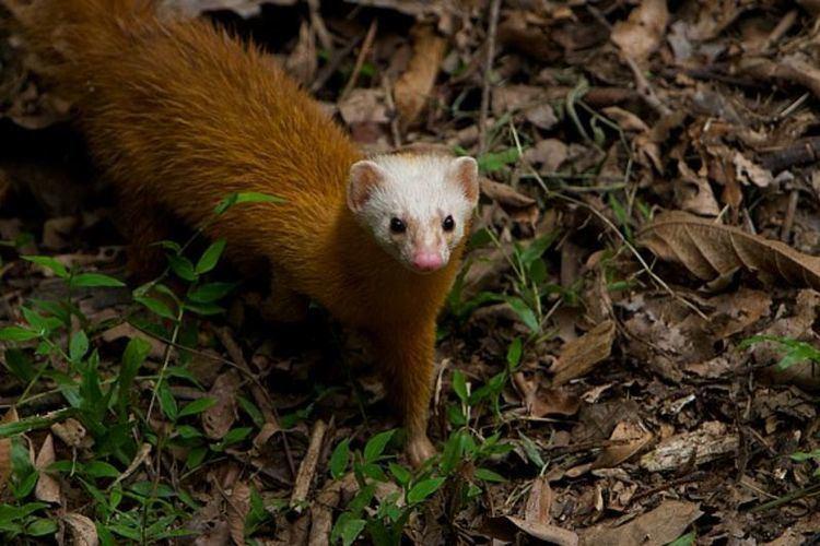 Malayan weasel Monday Mustelid Mustela nidipes Edition