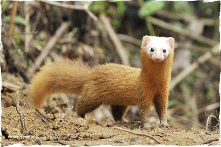 Malayan weasel Malayan Weasel Mustela nudipes