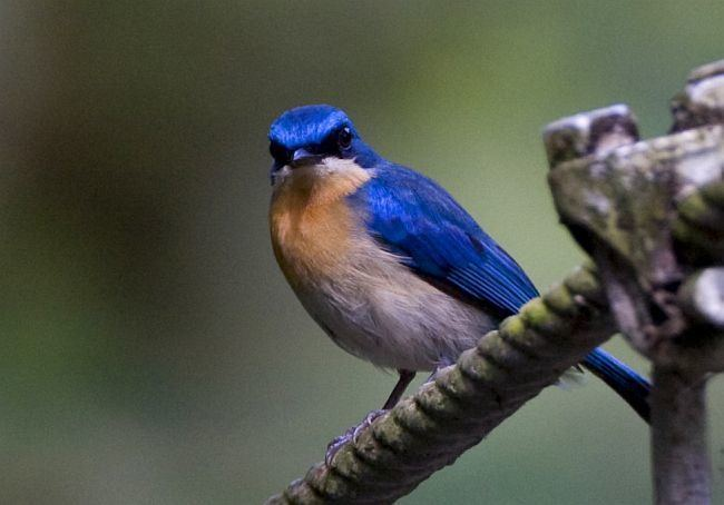 Malaysian blue flycatcher Oriental Bird Club Image Database Malaysian Blue Flycatcher