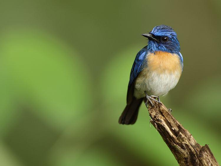 Malaysian blue flycatcher Malaysian Blue Flycatcher