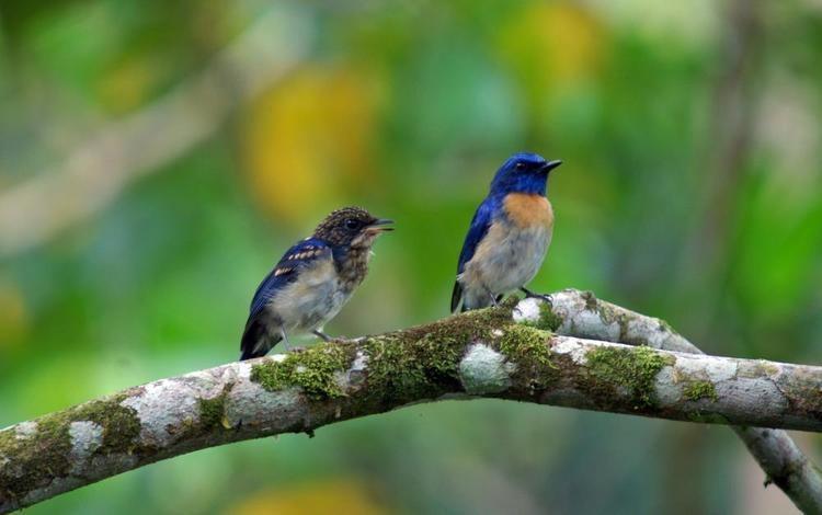 Malaysian blue flycatcher Malaysian Blueflycatcher Cyornis turcosus videos photos and