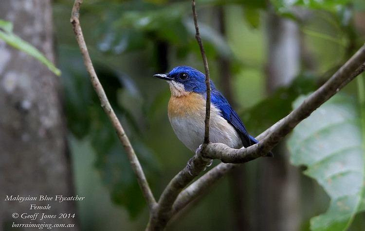 Malaysian blue flycatcher barraimagingcomau Photo Keywords Malaysian Blue Flycatcher