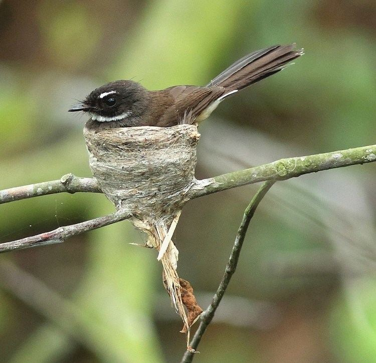 Malaysian pied fantail Successful nesting of the Malaysian Pied Fantails at Pasir Ris Park