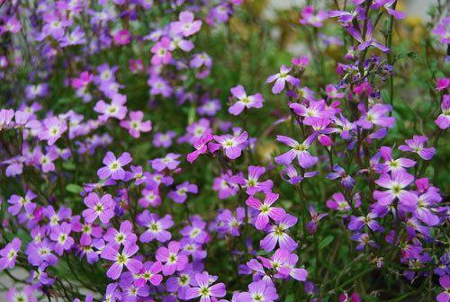 Malcolmia maritima Fragrant and Colorful Flowering Plant for Beginners Malcolmia maritima