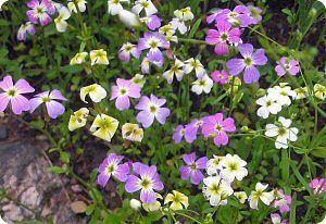 Malcolmia maritima Malcolmia maritima Diane39s Flower Seeds