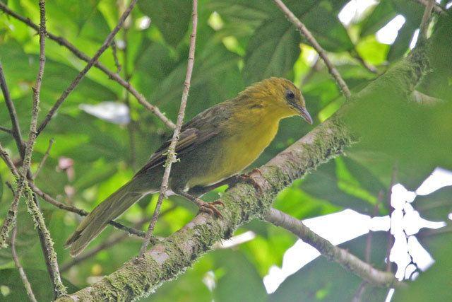Malia (bird) orientalbirdimagesorgimagesdatamaliagnambang
