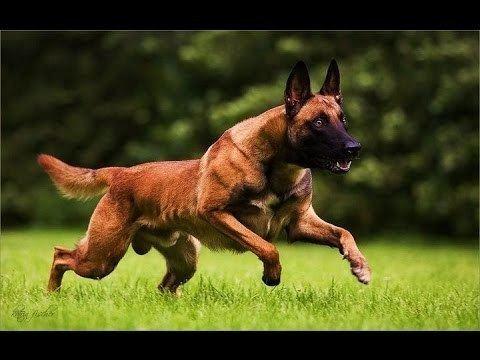 Malinois dog - Alchetron, The Free Social Encyclopedia