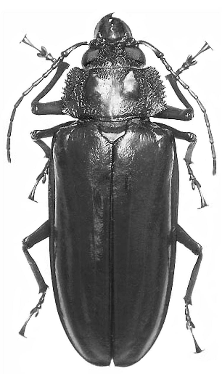 Mallodon Mallodon vermiculatus ColeopteraAtlascom