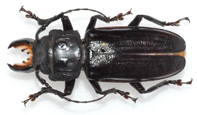 Mallodon Cerambycoidea Forum CostaArgentina Mallodon molarius amp spinibarbis