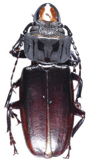 Mallodon Genus Mallodon Lacordaire 1830 Cerambycidae