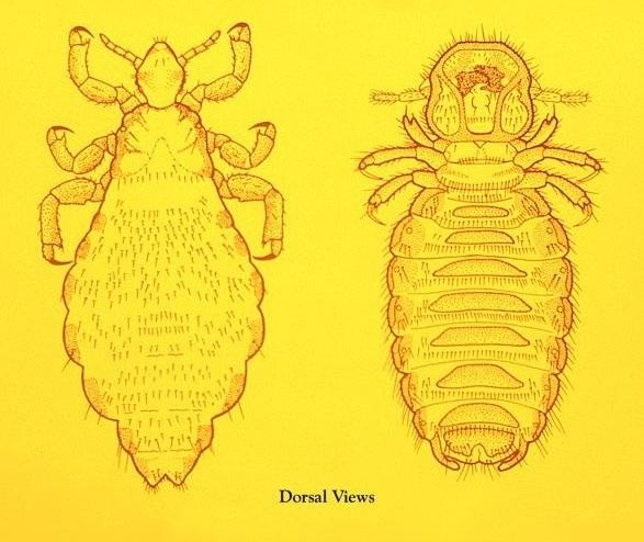 Mallophaga Insect Identification