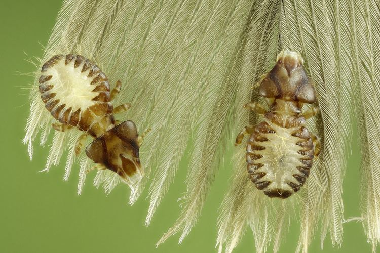 Mallophaga Mallophaga Amazing creatures from feathers of buzzard See Flickr