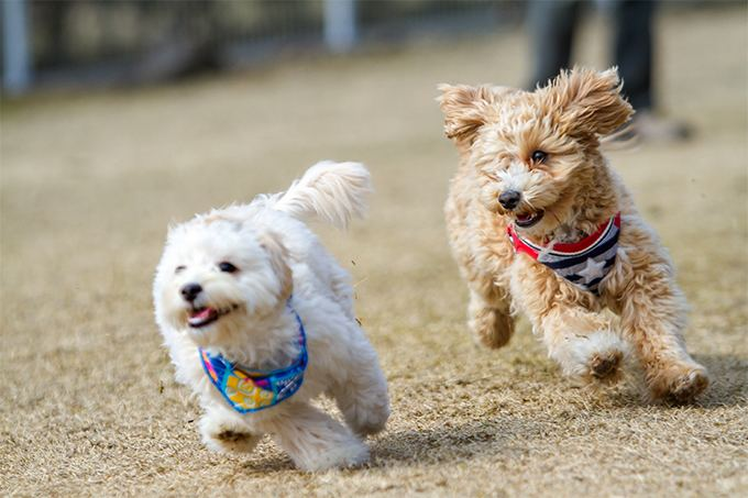 Maltipoo Maltipoo Dog Breed Information Pictures Characteristics amp Facts
