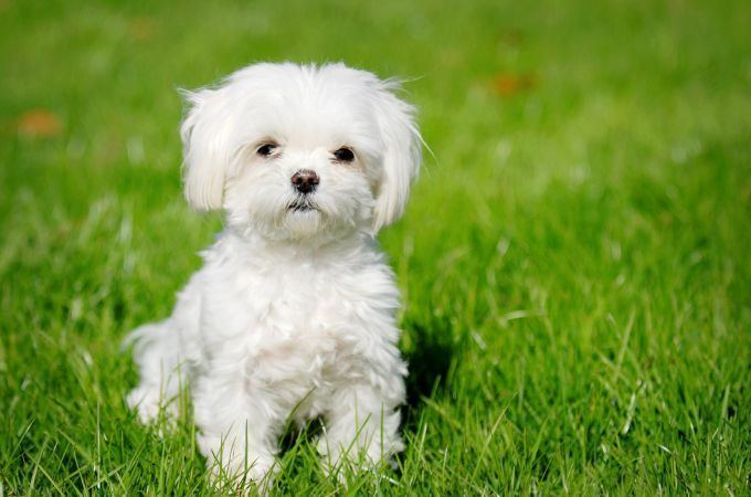 Maltipoo 30 Fascinating Facts About Maltipoo Dogs Teacupdogdaily