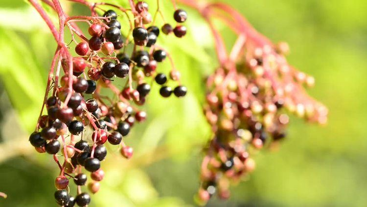 Malus asiatica Chinese Pearleaf Crab Apple Malus Asiatica Stock Footage Video