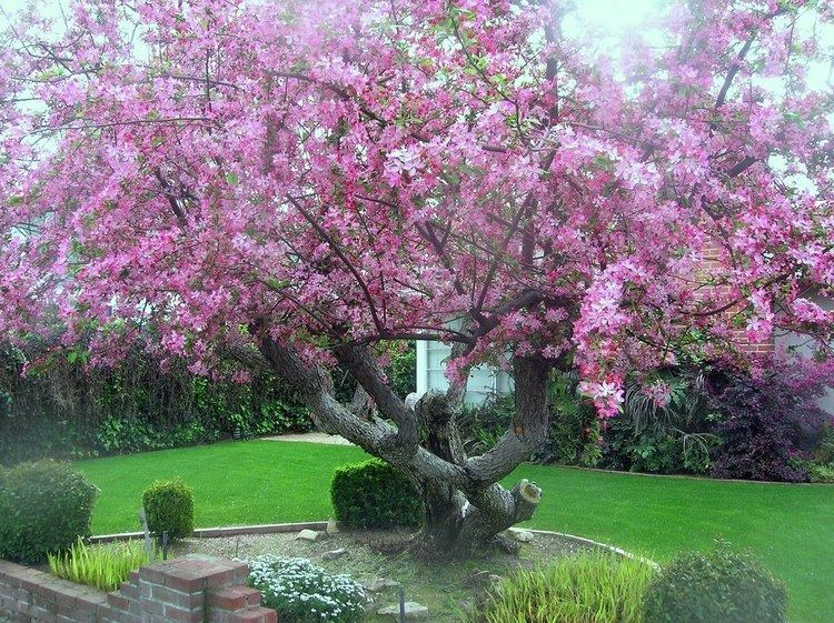 Malus floribunda - Alchetron, The Free Social Encyclopedia