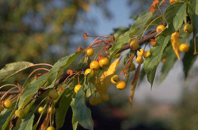 Malus transitoria Malus transitoria cutleaf crabappleRHS Gardening