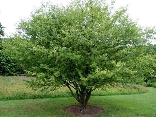 Malus transitoria BlueBell Nursery BlueBell Nursery Trees amp Shrubs Malus Malus