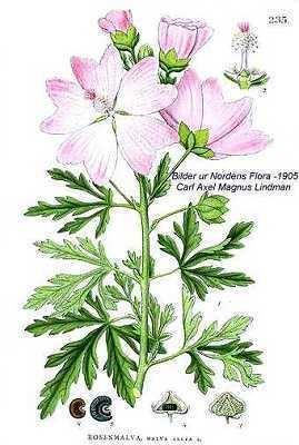 Malva alcea Online Virtual Flora of Wisconsin Malva alcea