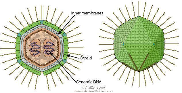 Mamavirus cdnfuturasciencesusbuildsimagesthumbs330cd