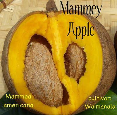 Mammea americana Polynesian Produce Stand MAMEY APPLE Mammea americana RARE FRUIT
