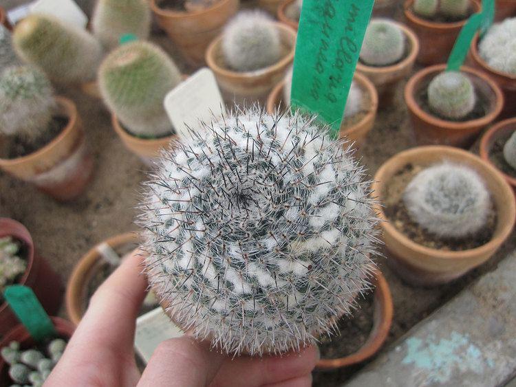 Mammillaria Mammillaria Plant Care Tips The Ultimate Guide