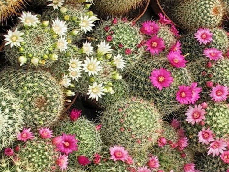 Mammillaria How to Grow and Care for Mammillaria World of Succulents