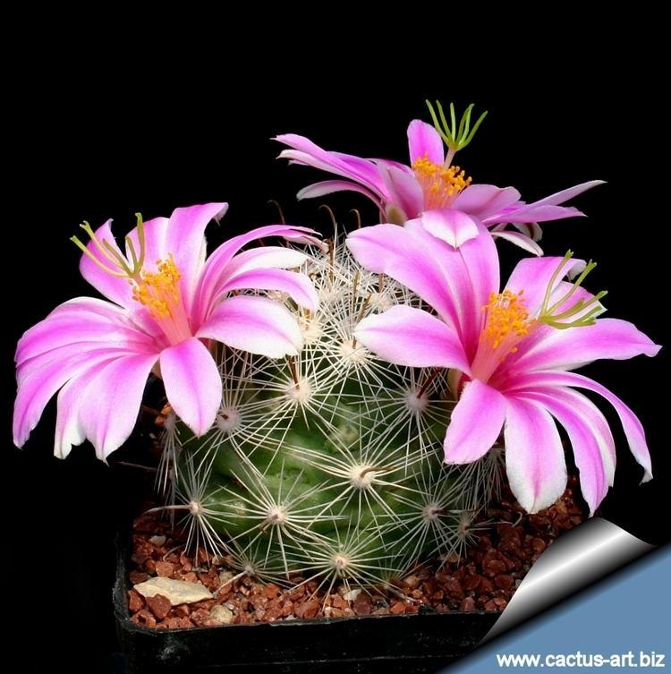 Mammillaria boolii wwwcactusartbizschedeMAMMILLARIAMammillaria
