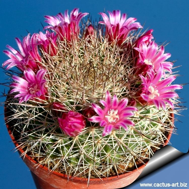 Mammillaria grusonii wwwcactusartbizschedeMAMMILLARIAMammillaria