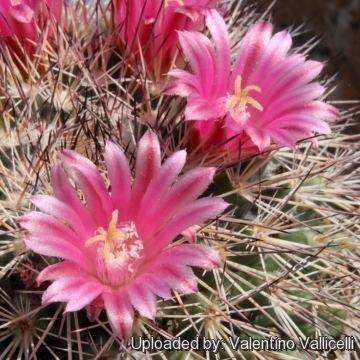 Mammillaria grusonii Mammillaria grusonii