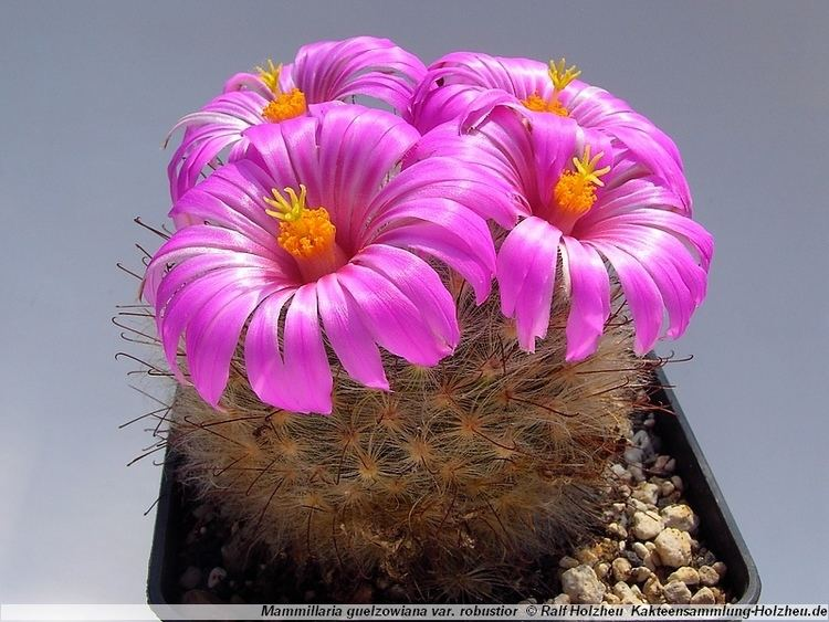 Mammillaria guelzowiana Cacti CollectionHolzheu Mammillaria guelzowiana var robustior