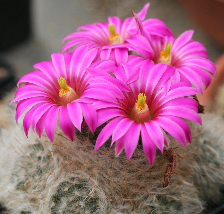 Mammillaria guelzowiana Mammillaria guelzowiana Wikipedia