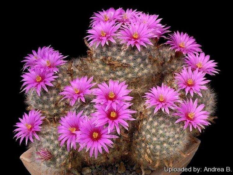 Mammillaria guelzowiana Mammillaria guelzowiana