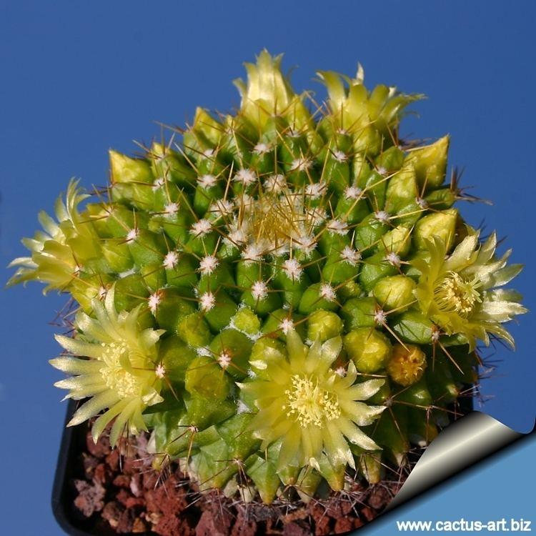Mammillaria marksiana Mammillaria marksiana