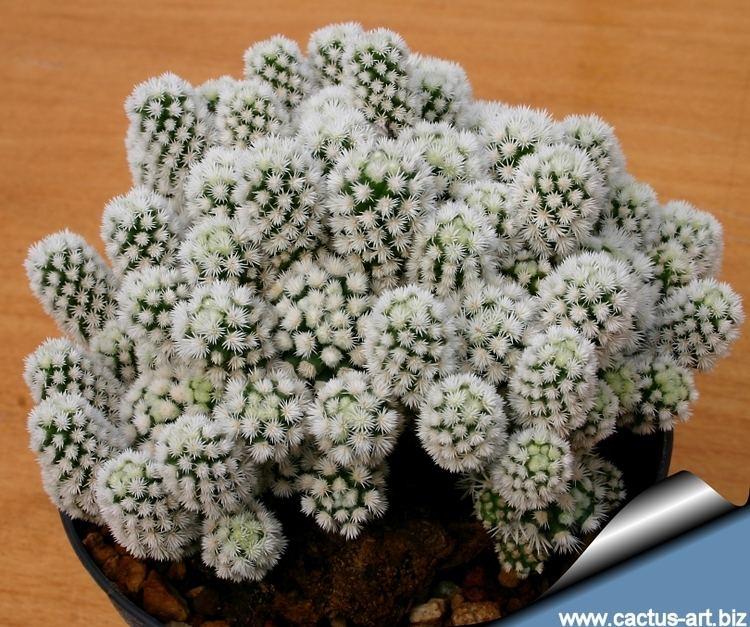 Mammillaria vetula Mammillaria vetula ssp gracilis cv Arizona Snow Cap Snowcap