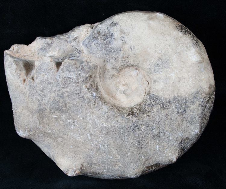 Mammites 56quot Bumpy Mammites Ammonite Fossil Morocco For Sale 13836