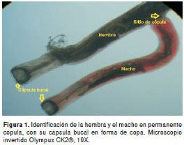 Mammomonogamus Prevalence of Mammomonogamus laryngeusStrongylidaSyngamidae