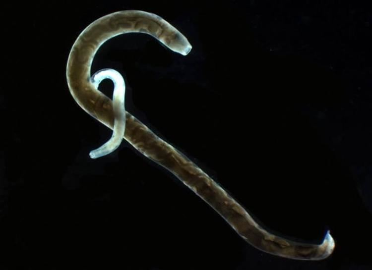 Mammomonogamus Bursate Nematodes Strongylus Veterinary Medicine 5410 with Bowman