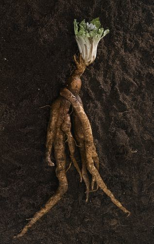 Mandrake 1000 images about Mandrake on Pinterest The plant Kassel and England