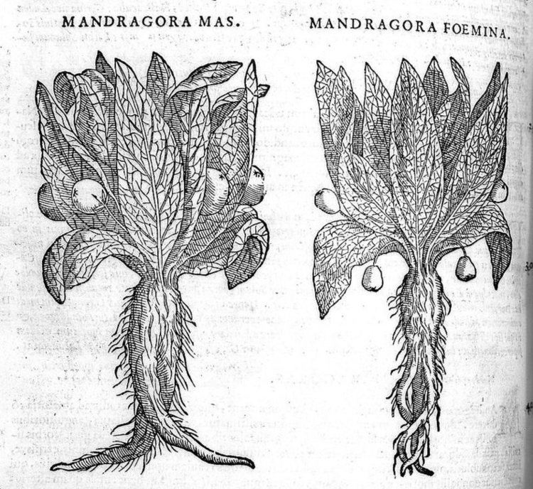 Mandrake The History and Uses of the Magical Mandrake According to Modern