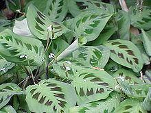 Marantaceae Marantaceae Wikipedia