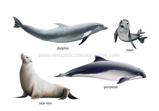 Marine mammal ANIMAL KINGDOM MARINE MAMMALS EXAMPLES OF MARINE MAMMALS 1