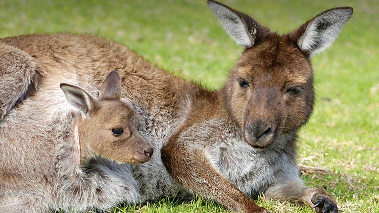 Marsupial Marsupial San Diego Zoo Animals amp Plants