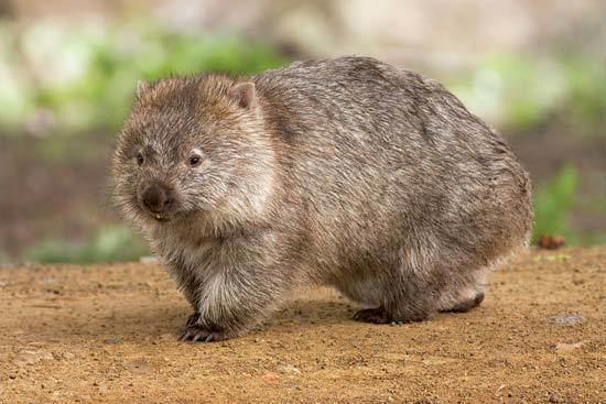 Marsupial marsupial mammal Britannicacom