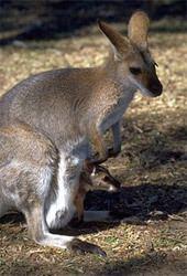Marsupial wwwucmpberkeleyedumammalmarsupialwallabyjpg