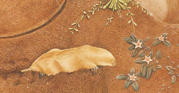 Marsupial mole The marsupial mole an enduring enigma Australian Geographic